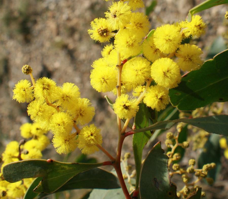 Achat-vente Acacia pycnantha, mimosa doré